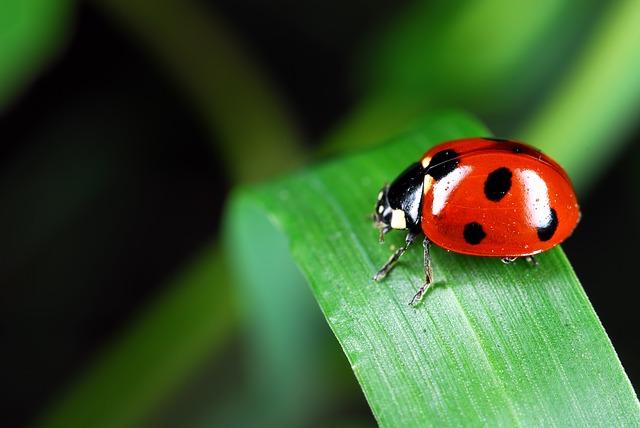 ladybug-973917_640