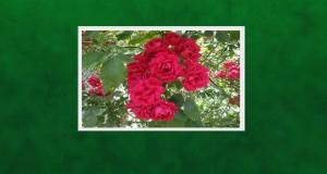 reduta rozi