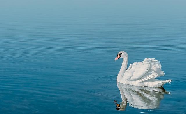 swan-938259_640