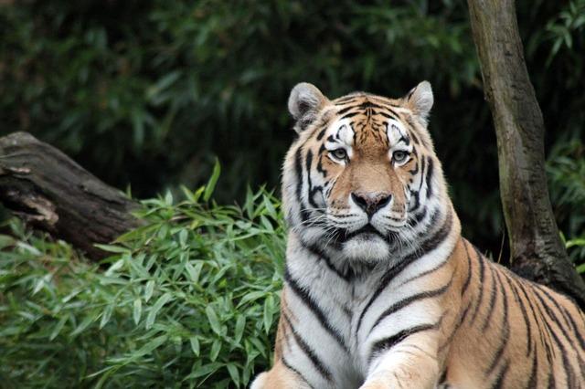 sumatran-tiger-996481_640