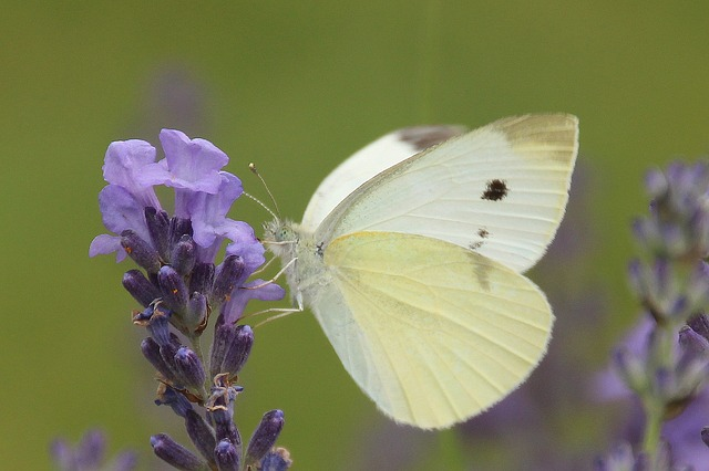 small-cabbage-white-ling-1142230_640