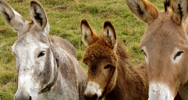 donkeys-218069_640