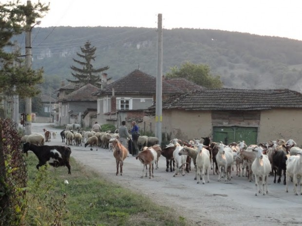 Svalenik kozi