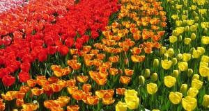 tulip-2191749_640