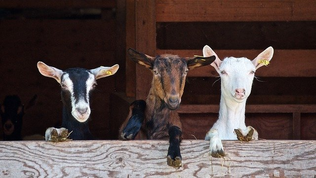 goats-2376144_640