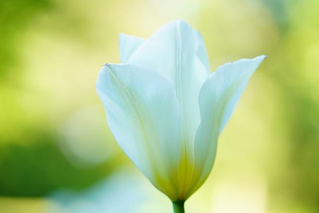 tulip-5144433_640
