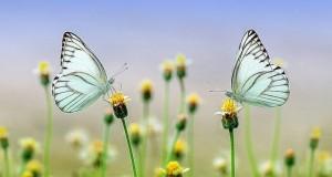 butterflies-1127666_640