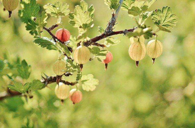 gooseberry-176450_640