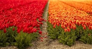 tulips-5097405_640